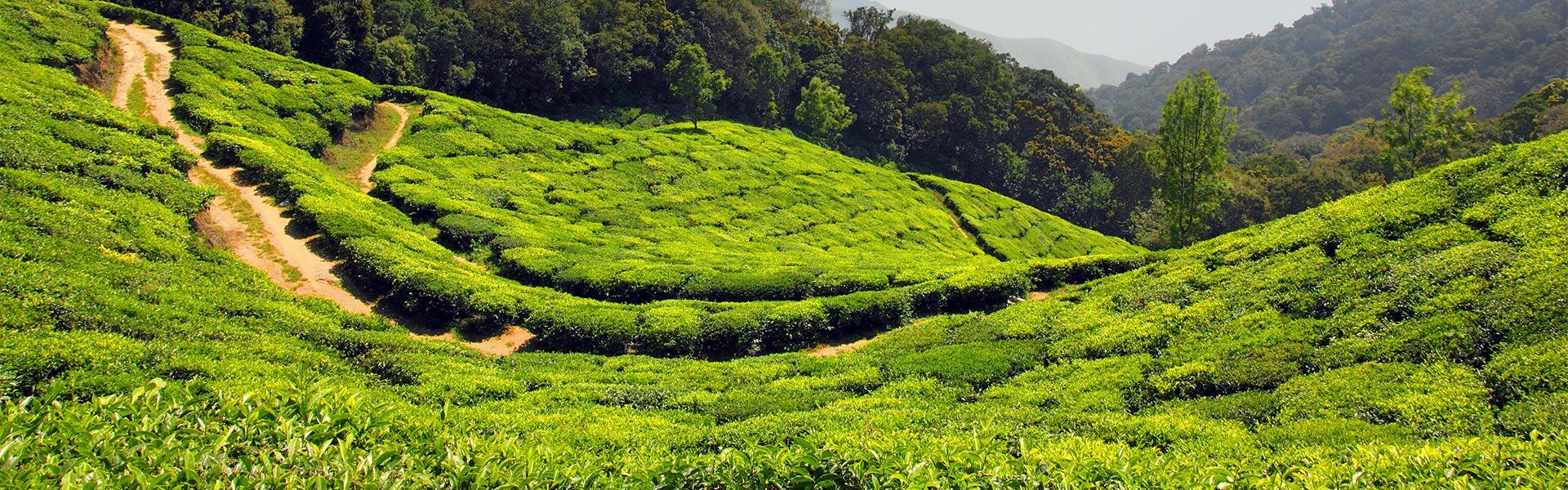 Plantações do chá
